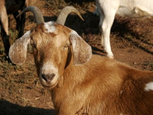 Brown_female_goat