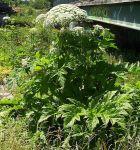 Riesenbärenklau (Heracleum mantegazzianum): DIE deutsche invasive Pflanze schlechthin. Bild: Appaloosa (CC BY-SA 3.0)